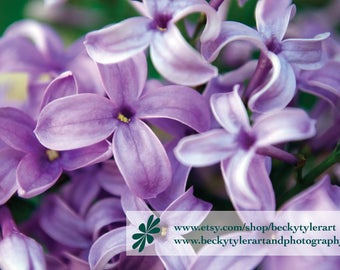 Lilac Macro Fine Art Photo Print