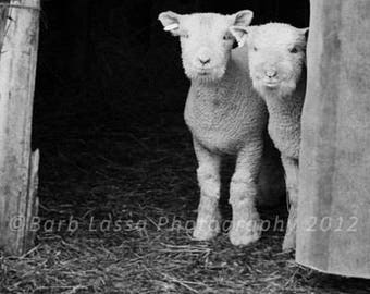 Lambs, Fine Art Photography, Sheep,Spring, Black, White, Southdowns, Film