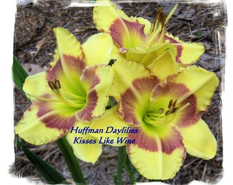 Daylily: 'Kisses Like Wine',double fan, perennial