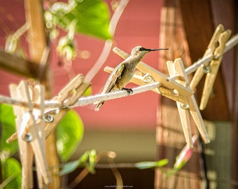 Humming Bird Photograph, Hummingbird on Clothesline,  Hummingbird Fine Art Print or Canvas Wrap in Standard or Square Sizes