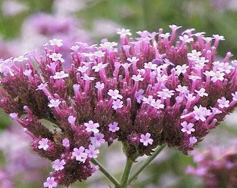 Pink Vervain, Verbena - Heirloom wild flower 50+ seeds