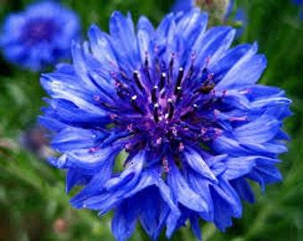 ABB) TRUE BLUE Bachelor Button~Seeds!!!!~~~~~~~~Add That Wow Factor!