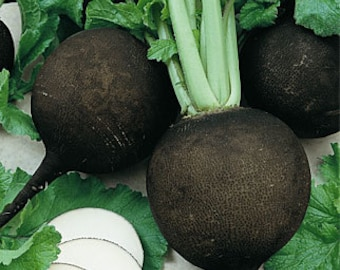 VRCR)~BLACK SPANISH Round Radish~Seed!!!!~~~~~~Beautiful & Zesty!