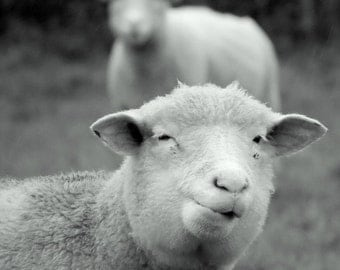 Sheep.  A card featuring an original photograph.  Left blank for your own message.