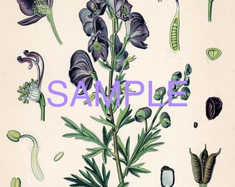 1887 Aconitum Napelles / Monks Hood / Wolfsbane Poisonous Plants, Chromolithograph DIGITAL