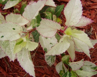 Hibiscus rosa sinensis Matensis tropical variegated Pint Plant FREE SHIP
