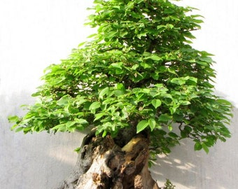 blue jacaranda tree jacaranda mimosifolia. Black Bedroom Furniture Sets. Home Design Ideas