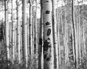 Colorado Aspen Birch Trees,  Nature Forest Photography, Tree Home Decor, Black and White Photo, Leaves Summertime Fine Art Nature Photo