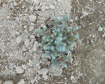 Sedum 'Blue Spruce'