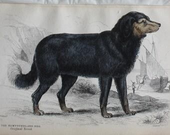 old etch newfoundland dog 1840