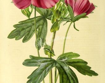 flowers-28676 - callirhoe verticillata, purple poppy-mallow, digital vintage floral botanical clipart paper picture high resolution image