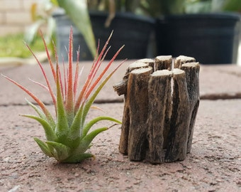 Cholla wood Tillandsia air plant stand