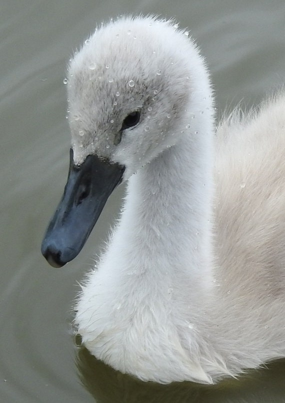 beautiful baby swan (cygnet)