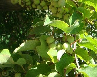 3x Actinidia arguta Baby or Mini Kiwi climber plants in 2 pots, smooth, hairless, sweet fruits