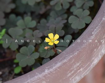 Photography Prints - Yellow Flower in a World of Clovers