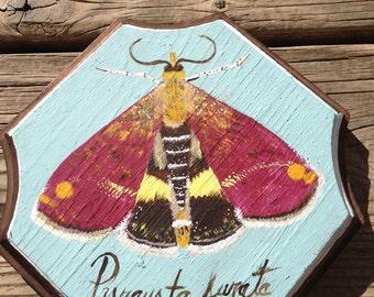 Fig. 1 Pyrausta Aurata Moth