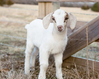 Baby Goat Photo, Square Print, Farm Animal Photography, Rustic Home Decor