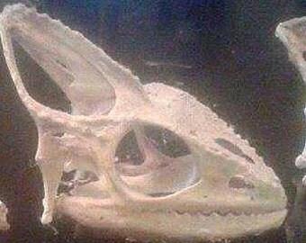 Chameleon skull