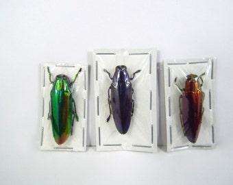 Jewel Beetle Rainbow Trio