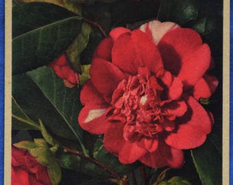 Camellia Red White Flowers Art Printed in Switzerland Antique Early 1900s Postcard