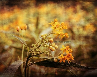 Butterfly Weed - Butterfly Plant - Milkweed - Plant - Butterfly - Butterflies - Yellow Plant - Weed - Fine Art Photography