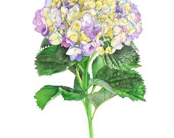 Hydrangea print of watercolour painting, H16316, 5 by 7 size, Hydrangea watercolor painting print, botanical wall art print, hydrangeas art