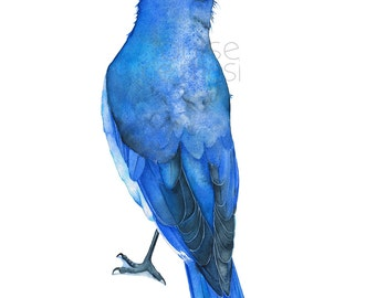 Bluebird print of watercolour painting, A4 size, BB18617, Bluebird watercolor painting print, Mountain Bluebird print, Bird illustration