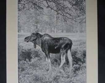 1901 Antique Scandinavian Elk Print, Moose Gift, Natural History Decor, Available Framed, Deer Art, Nature Picture, Wild Woodland Animal