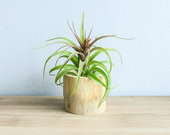 12 Wholesale Driftwood Air Plant Containers with Streptophylla Hybrid - Natural Wood Holder - Fast FREE Shipping - 30 Day Guarantee