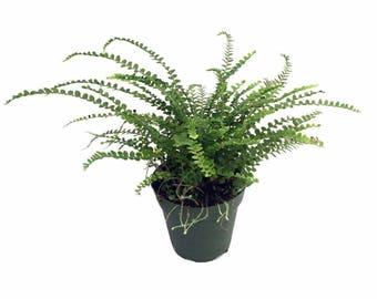 "Lemon Button Fern - 4"" Pot - Nephrolepis cordifolia Duffii - Live Plant"