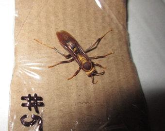 Real Dried Wasp