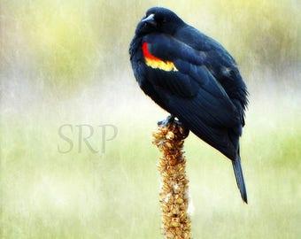 Little Ball o' Blackbird - INSTANT DOWNLOAD - Red-Winged Blackbird