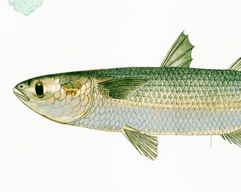 1932 Grey Mullet Print. Original Hand Colored Lithograph. Gamefish Print. Ichtyoloy Wall Art. Ocean Decor.