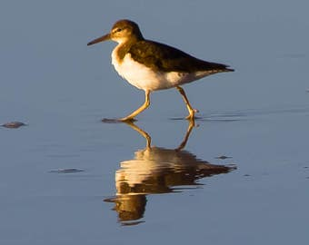Sand Piper Reflection