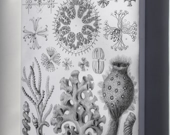 Canvas 24x36; Haeckel Hexactinellae