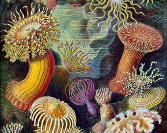 16x24 Poster; Sea Anemones Classified As Actiniae. By Ernst Haeckel C1904