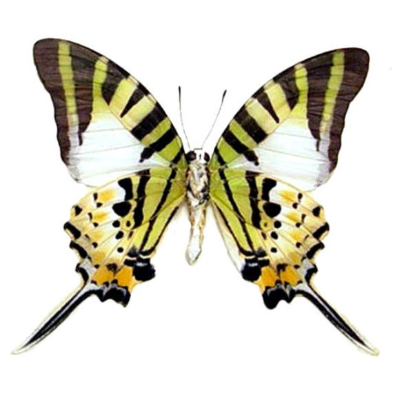 Supplies for your artworks - dried insects - : 5 pcs Pathysa antiphates alcibiades, papilio ,UNMOUNTED A1 quality, FREE SHIPPING