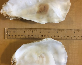12 Large  Oyster Shell 7 to 10 inch Clean No Smell Art Craft Painting Aquariums Jewelry Dish S/8