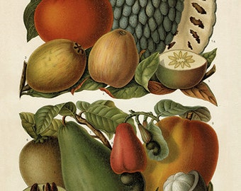 Tropical Fruit Art Print - Botanical Fruit Illustration - Kitchen Chef Wall Art - Museum Quality