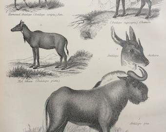1875 Antelope Original Antique Steel Engraving Print - Wildlife - wall decor - home decor