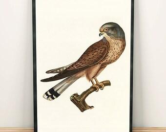 Common kestrel bird drawing art print poster