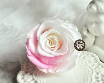 6-7cm pink white gradient Preserved Fresh Rose Flower DIY Material ,Dried Rose Flower