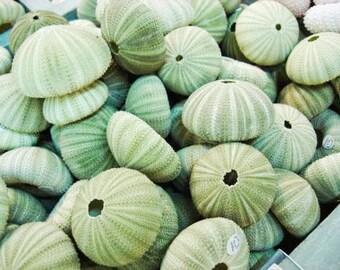 Green Sea Urchin Shells (Small), beach decor, craft shells, bulk shells, air plant holder, air plant shell, sea urchin decor, urchin planter
