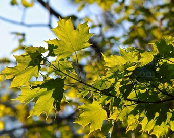Maple Leaves in Afternoon Sun Photo Print; Leaf Photography, Forest Photography, Nature Photography, Outdoor Photography || PHYSICAL PRINT