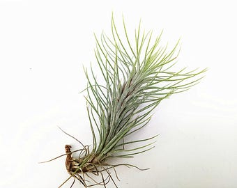 Tillandsia Funckiana Air Plant Decorations,Lime Air Plants, Needle Leaf Airplant for Indoor Terrarium Accessories, Tabletop Decorate