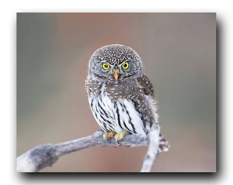 Owl Photo, Owl Print, Owl Art, Eule, Uil, Buho, Fine Art Print, Bird Picture, Bird Photography,  Cute Owl, Tiny Owl, Adorable Owl, Pygmy Owl