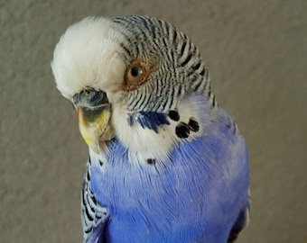 Real stuffed bird budgie parakeet taxidermy blue White mounted curiosity tropical feathers