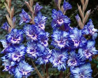 Gladiolus Bulbs, (not seeds) Perennial Flower 5 Bulbs (item No: 5)