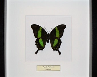 Framed butterfly Papilio Palinurus