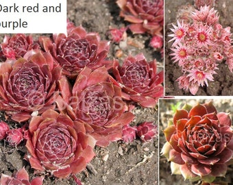 LIVE succulent ground cover Sempervivum (Hen and Chickens) very cold hardy broad leaf evergreen (-34.4 C (-30 F))